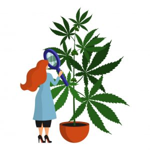 Female scientist, botanist studies and analyzes the cannabis plant in the laboratory. Isolated object on white background
